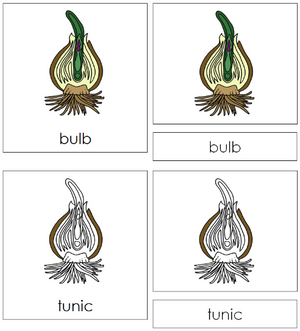 Bulb Nomenclature Cards - Montessori