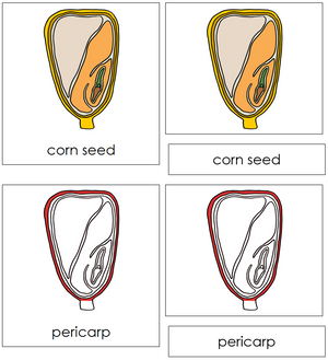 Corn Seed Nomenclature 3-Part Cards (Red) - Montessori Print Shop