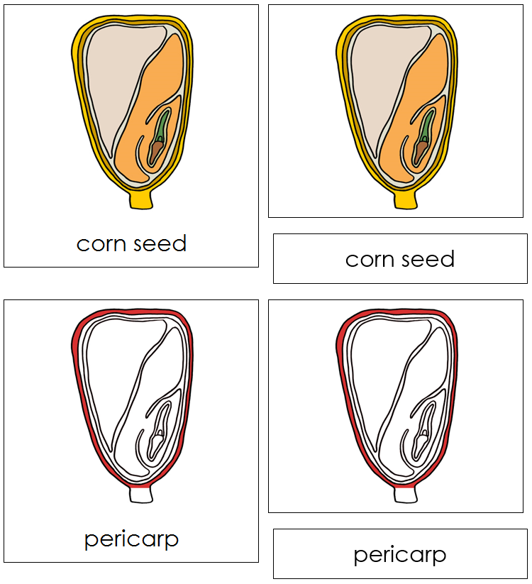 Corn Seed Nomenclature Cards (Red) - Montessori Print Shop