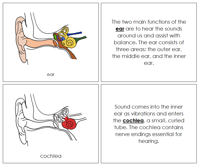Ear Nomenclature Book - Montessori Print Shop