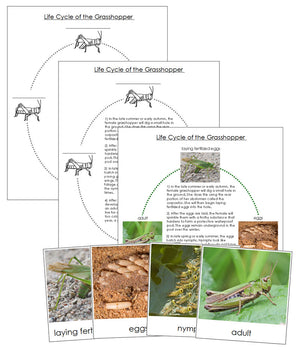 Grasshopper Life Cycle Nomenclature Cards & Charts - Montessori Print Shop