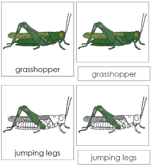 Grasshopper Nomenclature Cards - Montessori