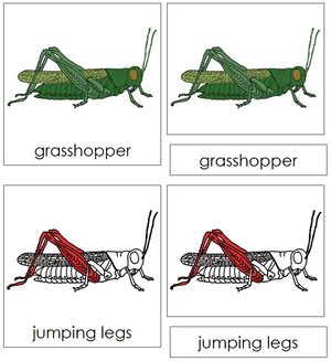 Grasshopper Nomenclature Cards (red) - Montessori Print Shop