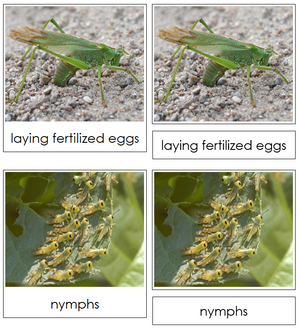 Grasshopper Life Cycle Nomenclature 3-Part Cards & Charts - Montessori Print Shop