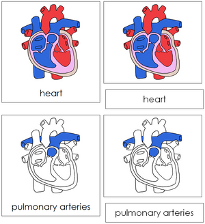 Human Heart Nomenclature 3-Part Cards - Montessori Print Shop