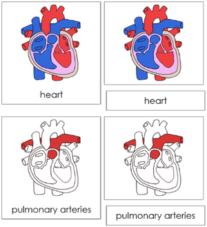 Human Heart Nomenclature 3-Part Cards (red) - Montessori Print Shop