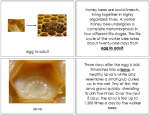 Honey Bee Life Cycle Book - Montessori