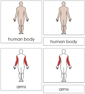 Human Body Nomenclature 3-Part Cards (red) - Montessori Print Shop