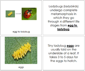 Ladybug Life Cycle Book - Montessori