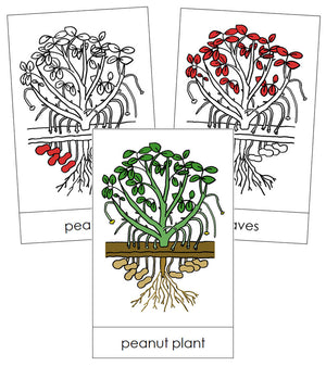 Peanut Plant Nomenclature Cards (Red) - Montessori Print Shop