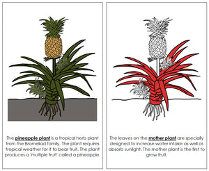 Pineapple Plant Nomenclature Book (Red) - Montessori Print Shop