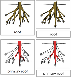 Root Nomenclature Cards (red) - Montessori Print shop
