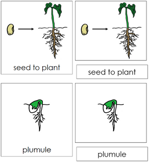 Seed to Plant Nomenclature 3-Part Cards - Montessori Print Shop