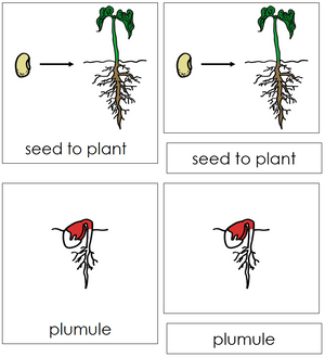 Seed to Plant Nomenclature Cards (red) - Montessori Print Shop