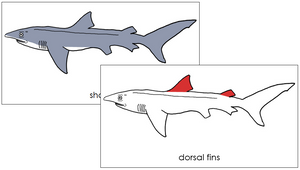 Shark Nomenclature Cards (red) - Montessori Print Shop