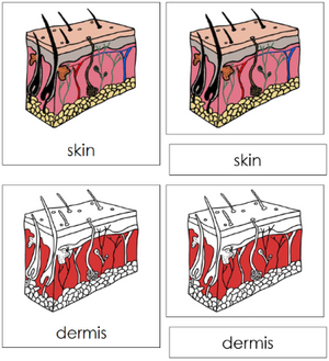 Skin Nomenclature Cards - Montessori