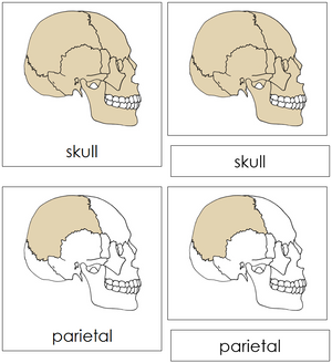 Skull Nomenclature Cards - Montessori Print Shop