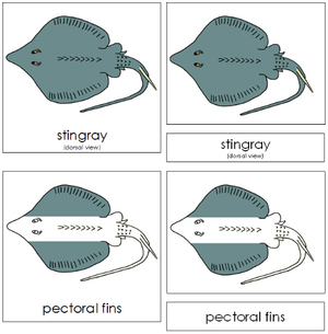 Stingray Nomenclature Cards - Montessori