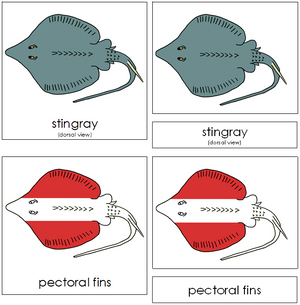 Stingray Nomenclature Cards (red) - Montessori Print Shop