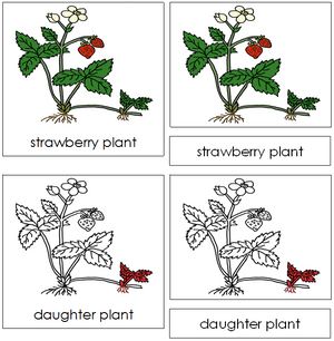 Strawberry Plant Nomenclature 3-Part Cards (red) - Montessori Print Shop