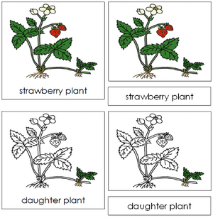 Strawberry Plant Nomenclature 3-Part Cards - Montessori Print Shop