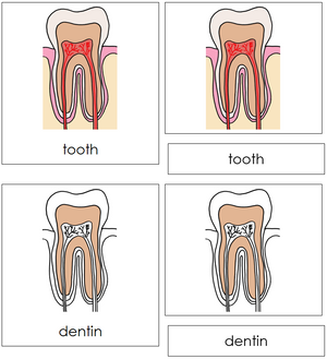 Tooth Nomenclature 3-Part Cards - Montessori Print Shop