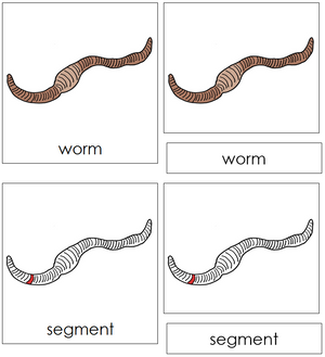 Worm Nomenclature 3-Part Cards (red) - Montessori Print Shop
