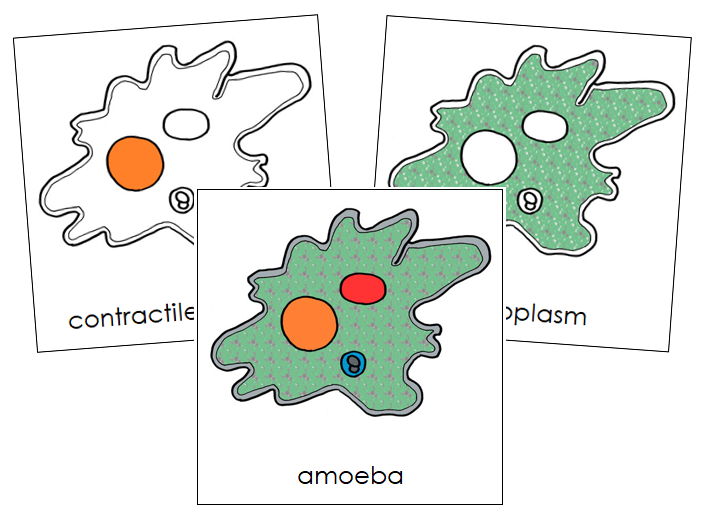 Amoeba Nomenclature Cards - Montessori Print Shop