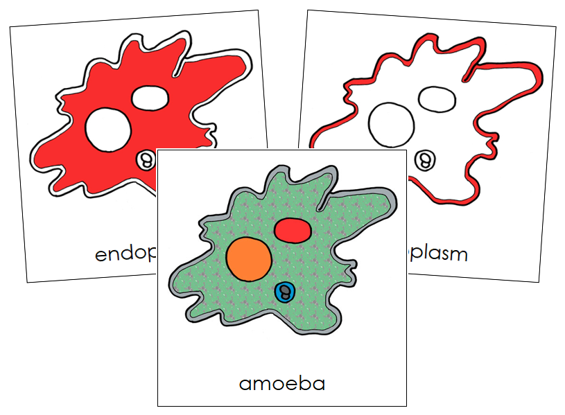 Amoeba Nomenclature Cards (red) - Montessori Print Shop