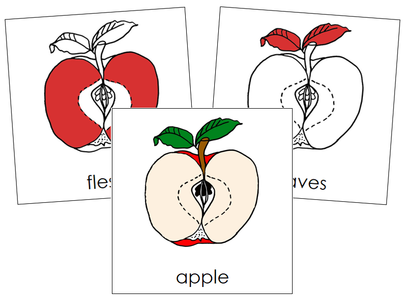 Apple Nomenclature Cards (red) - Montessori Print Shop
