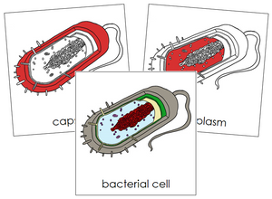 Bacterial Cell Nomenclature Cards (red) - Montessori Print Shop