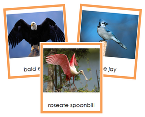 Class Aves (birds) Cards - Animal Kingdom - Montessori Print Shop