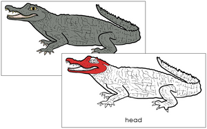 Caiman Nomenclature Cards (red) - Montessori Print Shop