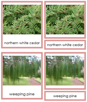8 types of Coniferophyta (conifers) - Montessori Print Shop