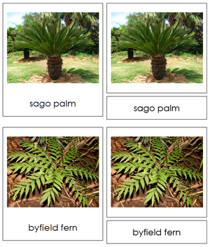 8 types of Cycadophyta (cycads) - Montessori Print Shop