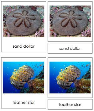 8 types of Echinodermata (Animal Kingdom) - Montessori Print Shop