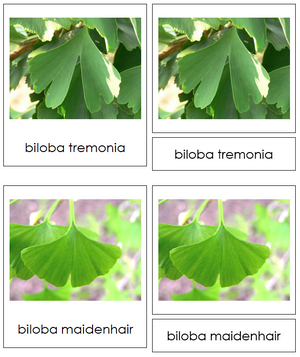 8 types of Ginkgophyta (ginkgo) - Montessori Print Shop