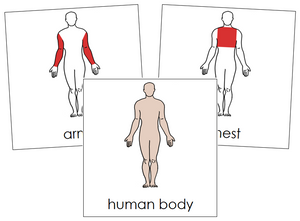 Human Body Nomenclature Cards (red) - Montessori Print Shop