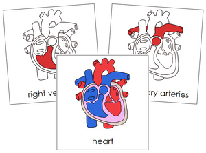 Human Heart Nomenclature - Cards (red)