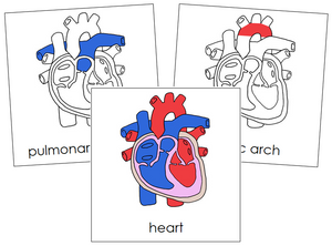 Human Heart Nomenclature Cards - Montessori Print Shop