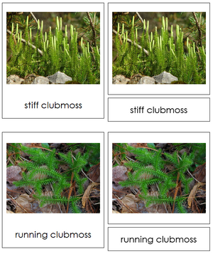 8 types of Lycopodiophyta (Club Mosses) - Montessori Print Shop