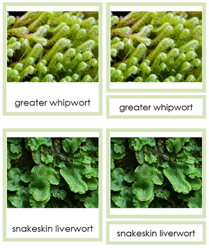 8 types of Marchantiophyta (liverworts) - Montessori Print Shop