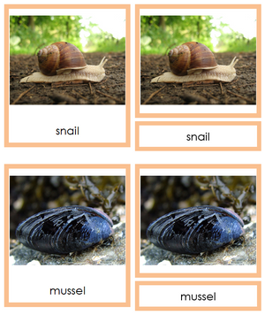 8 types of Mollusca (Animal Kingdom) - Montessori Print Shop