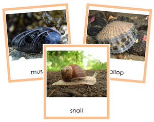 Phylum Mollusca (color) - Montessori Print Shop