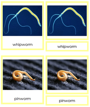 8 types of Nematoda (Animal Kingdom) - Montessori Print Shop