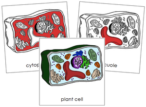 Plant Cell Nomenclature Cards (red) - Montessori Print Shop