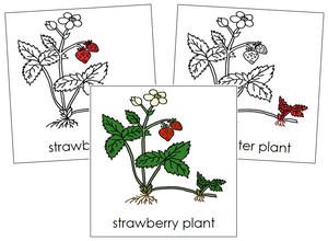Strawberry Plant Nomenclature Cards (red) - Montessori Print Shop
