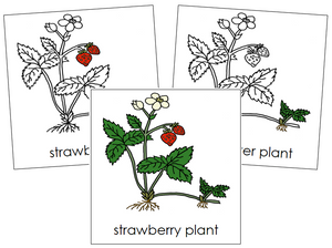 Strawberry Plant Nomenclature Cards - Montessori Print Shop