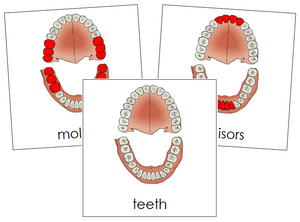 Teeth/Jaw Nomenclature Cards - Montessori Print Shop
