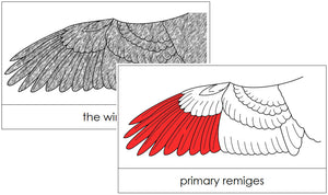 Wing Nomenclature Cards (red) - Montessori Print Shop